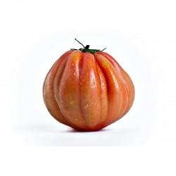 Semi di pomodoro cuor di bue cuorbenga