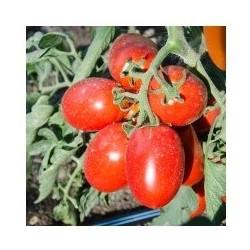Semi di pomodoro mezzo lungo smile