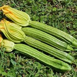 Semi Zucchino Romano Nettuno
