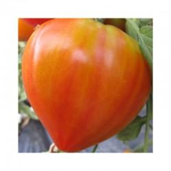 Semi di pomodoro cuor di bue classico