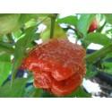 Semi Trinidad Moruga Caramel