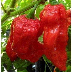 Semi King Naga