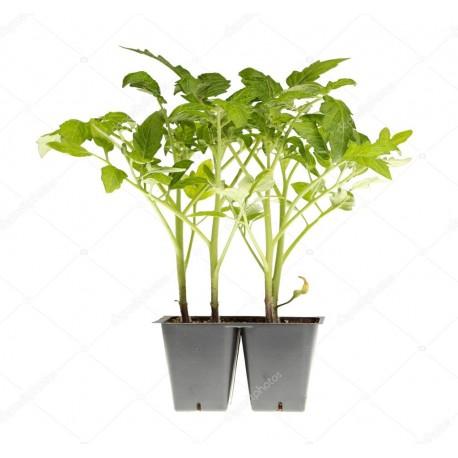 Pianta pomodoro tipo camone verduro F1