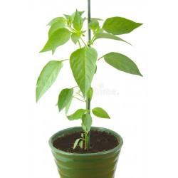 Pianta peperone giallo costadoro