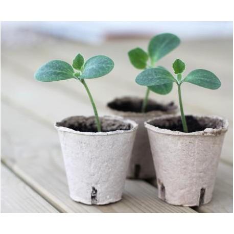 Pianta zucchino chiaro alberello