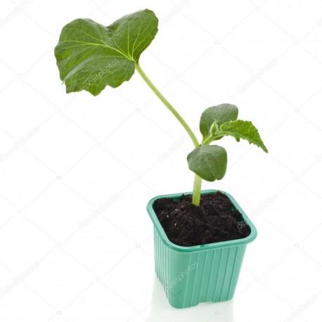 Pianta cetriolo bianco