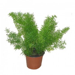 Pianta asparago Atlas