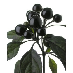 Black Pearl ornamentale FRESCO 150 gr