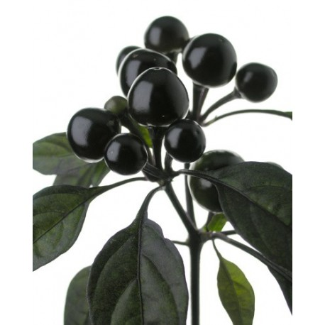 Black Pearl ornamentale FRESCO 150 gr