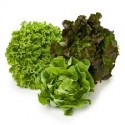 Piante di insalata
